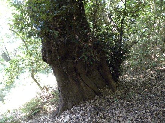 Ieshima: ウバメガシの巨樹