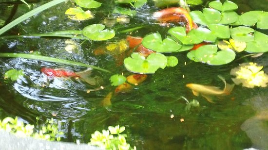 Lazy Bear Lodge: Pond with koi