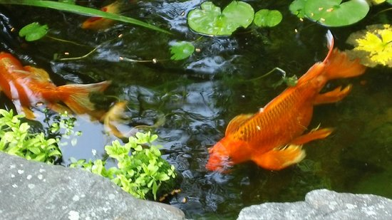 Lazy Bear Lodge: Pond in front of the house with some very large koi