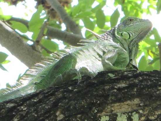 Turtle Inn: Iguana!