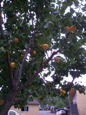 Lakeside Villa Inn & Suites: apricot tree
