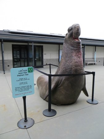 Marine Mammal Center : life size elephant seal stature