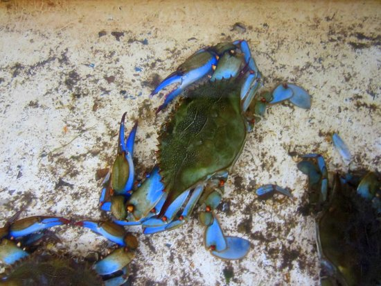 Peck's Old Port Cove : Blue Crabs