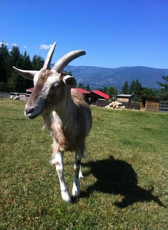 Swiss Lodge B&B: Chilling with a goat!