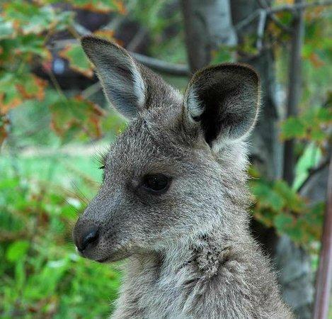 Inverness Farmstay friendly kangaroo