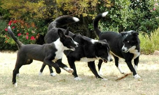 Inverness Farmstay border collies playing