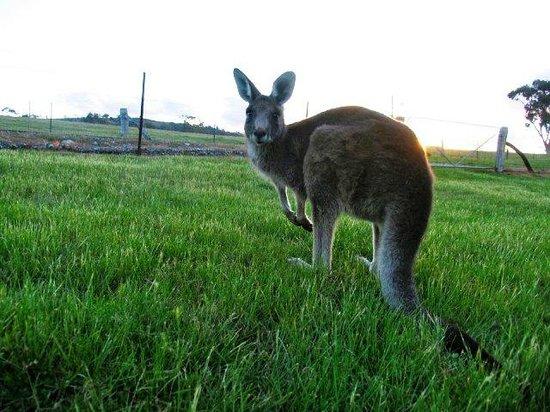 Inverness Farmstay kangaroo