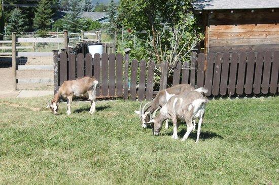 Swiss Lodge B&B: More goats...