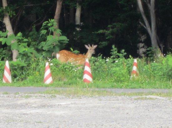 Shiretoko Prince Hotel Kazanamiki: Deer sightings