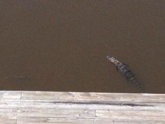 The Blow Fly Inn: little gator swimming off the Blow-fly deck!