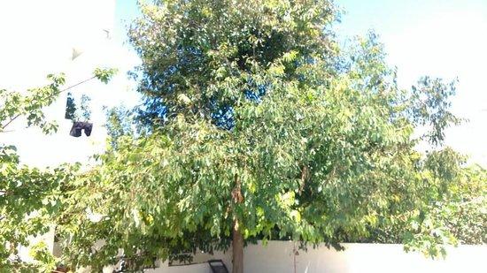 Hotel Evangelina : The lemon tree