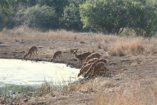 andBeyond Phinda Zuka Lodge: Nyala, at the water hole.