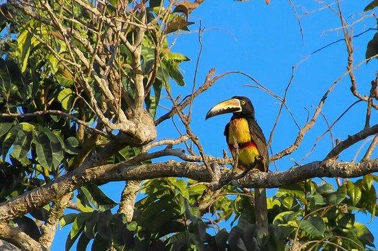 Hotel Horizontes de Montezuma: Tukan, fotogarfiert vom Balkon des Hotels aus