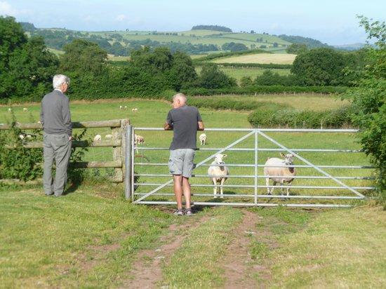 Caebetran Farm Bed & Breakfast: Sheepfarm