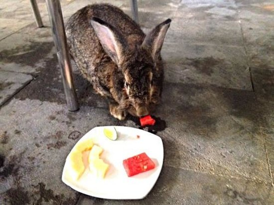 Bali Hotel Pearl: resident bunny