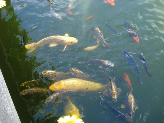 Vissen In Vijver : Vissen in de vijver van de tuin picture of hotel ling bao bruhl