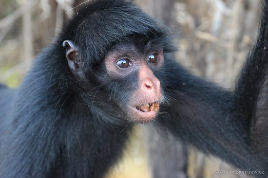Llaquipallay Lodge and Expeditions : Spider monkey