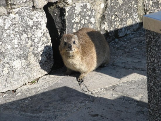 Cape Town Hiking with Tim Lundy -  Tours: A dassie on the mountain