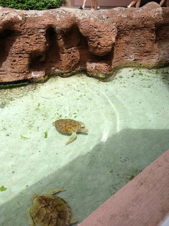 Virgil's Real BBQ : You can see turtles and other marine life from inside the restaurant
