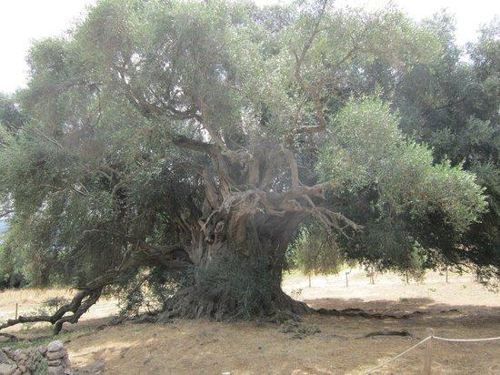 Luras, Italie : olivo