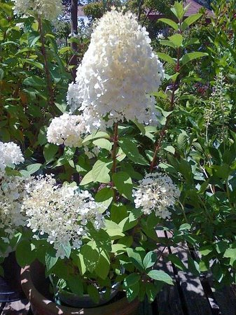 Bay Hay and Feed: Hydrangeas in bloom