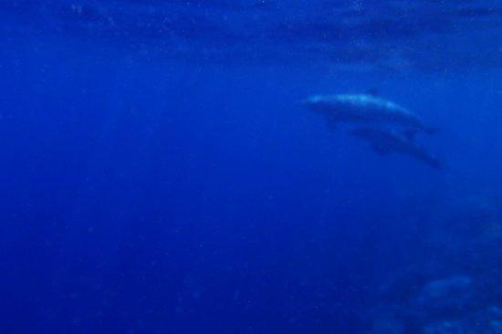 Thulhagiri Island Resort : Dauphins en snorking