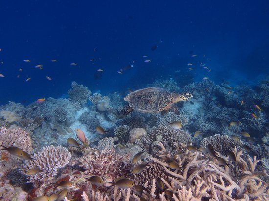 Thulhagiri Island Resort : Tortues sur le récif