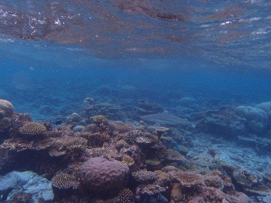 Thulhagiri Island Resort : Requins sur le recif