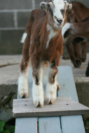 Door County Creamery: Goat Kid