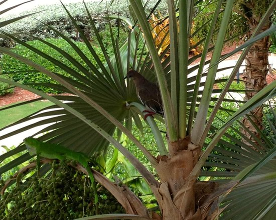 London House Condominiums: Palm iguana and dove just off balcony unit 18
