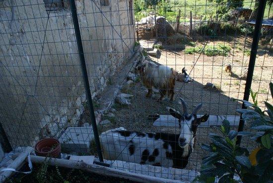 Borgo Lamurese: le caprette