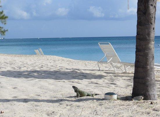 The Avalon: Iguana Wandering outside on beach