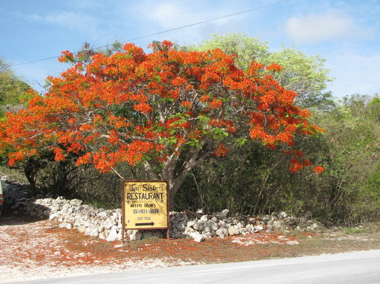 Long Island : Poinciana Tree in Bloom