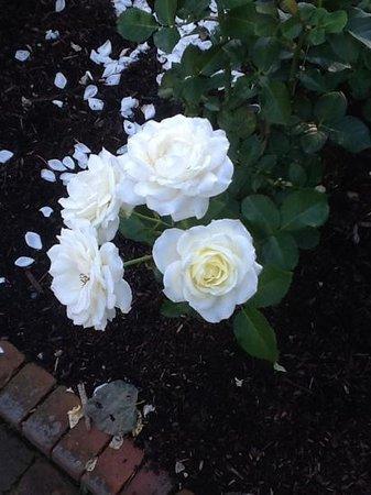 Chicago Botanic Garden: rose garden