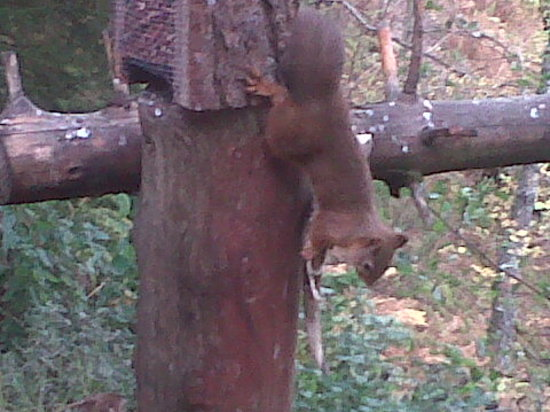 The Potting Shed Tearoom Inshriach: Red squirrel from viewing room