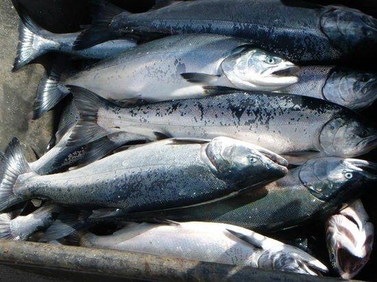 Alaska Saltwater Charters: Silvers and Kings...yum!