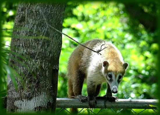 Green Oasis Home Boutique: Integrante de la familia de mapaches, que visitan el hotel mañana a mañana!!