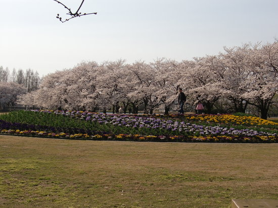 Botanic Gardens of Toyama: 桜満開