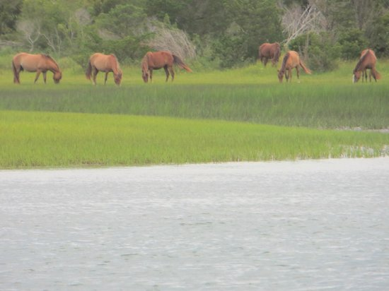 Waterbug Tours : Wild horses on Carrot Island, NC