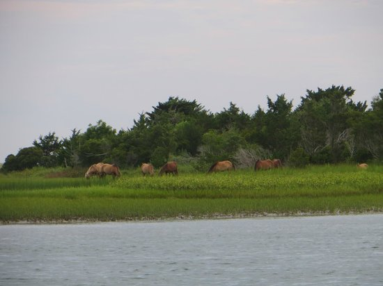 Waterbug Tours: Wild horses on Carrot Island, NC
