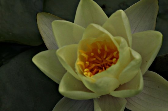 Bird & Hat Inn: Waterlily from B & B