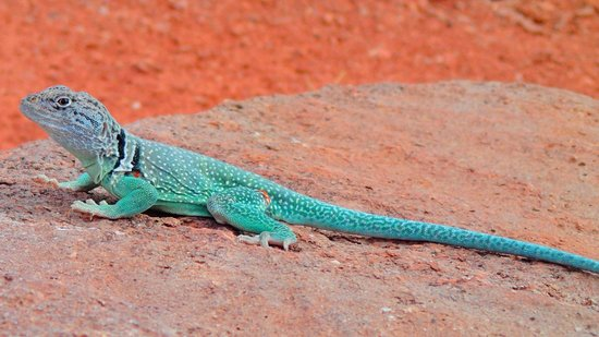 Canyon, Teksas: Collared Lizard (Givens, Spicer, Lowry Trail)