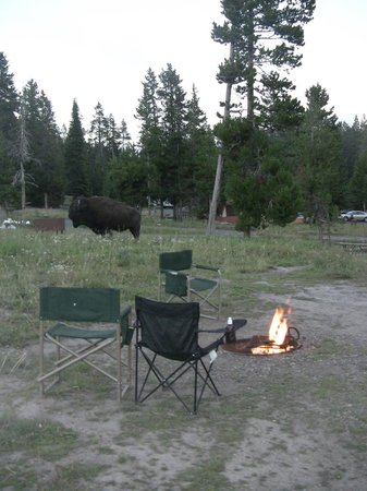 Bridge Bay Campground : Bison in the camp!