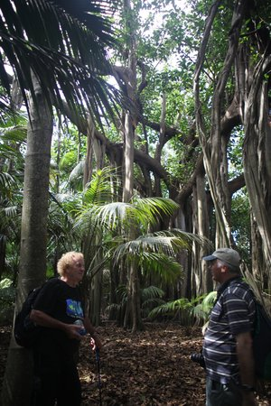 Lord Howe Island Walking Trails: Ron's ramble - one of many huge fig trees (Ron on left)