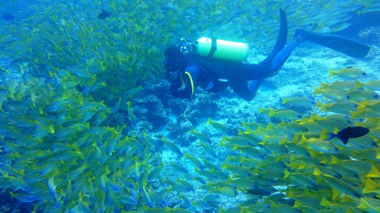 Banana Reef: A school of blue stripe snappers (April 2013)