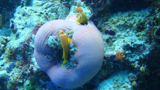 Banana Reef : Maldives anemone fish (April 2013)