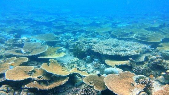 Banana Reef : Table corals (April 2013)