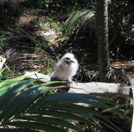 Lord Howe Island Walking Trails: Baby tern