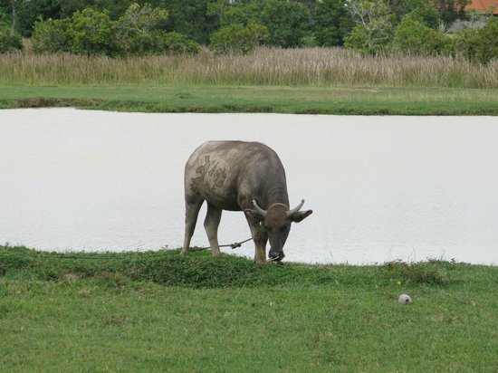 The Farmer Restaurant and Bar: mucca in fattoria