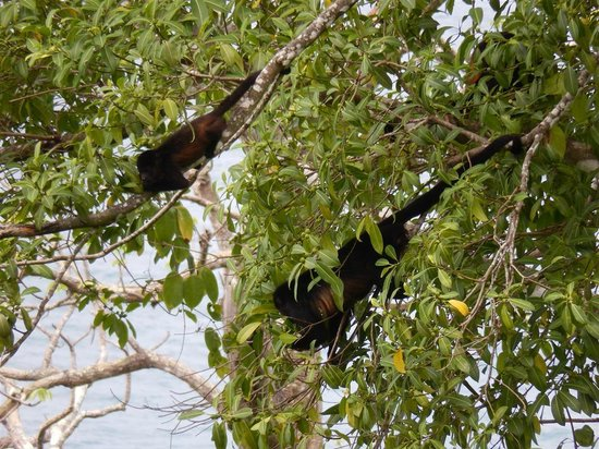 Bosque del Cabo Rainforest Lodge : Howler monkeys in the tree next to our bungalow.